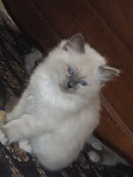 Frimousse, chat Birman