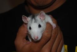 Marley, rongeur Rat