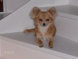 Caya De Pors An Dour, chien Chihuahua