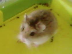 Cacahuette, rongeur Hamster