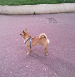 Diablo, chien Chihuahua