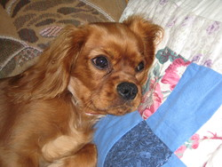 Ebène, chien Cavalier King Charles Spaniel