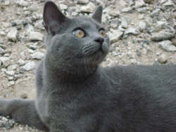 Ely, chat Chartreux
