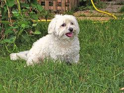 Tommy, chien Bichon maltais