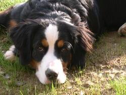 Chelsea, chien Bouvier bernois