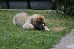 Fanfan, chien Leonberger