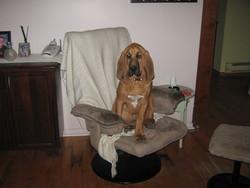 Rosie, chien Chien de Saint-Hubert