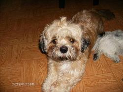 Tobby, chien Shih Tzu