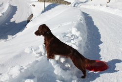 Baroc, chien Setter irlandais