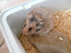 Anaquine, rongeur Hamster