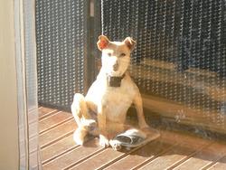 Udeline, chien Terrier de Boston