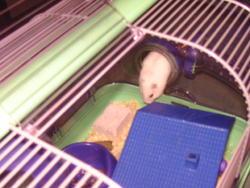 Ariane, rongeur Hamster
