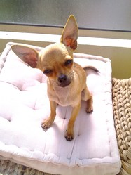 Tyson, chien Chihuahua