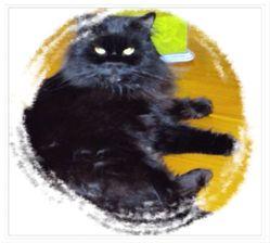 Bonheur Du Bray Dune, chat Persan