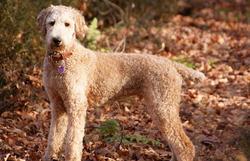Chopin, chien Caniche