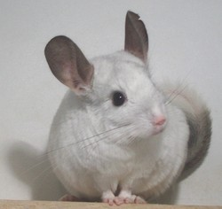 Pouky, rongeur Chinchilla