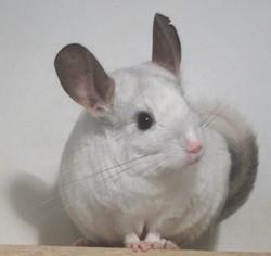 Pouky, rongeur Chinchilla