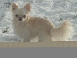 Doudou, chien Chihuahua