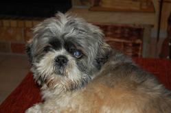 Marco, chien Shih Tzu