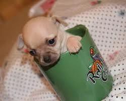 Béverly, chien Chihuahua
