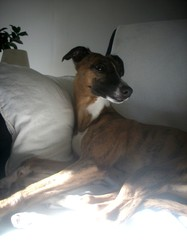 Balie, chien Whippet