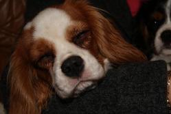 Elsie, chien Cavalier King Charles Spaniel