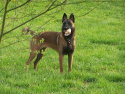 Déesse, chien Berger belge