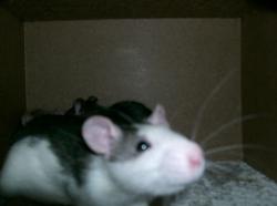 Bamboo, rongeur Rat