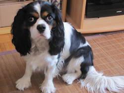 Eithel, chien Cavalier King Charles Spaniel