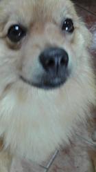 Fenzy, chien Spitz finlandais