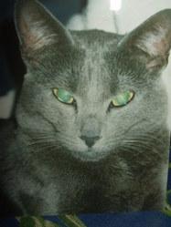 Thémis, chat Oriental
