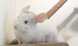 Nasqia , rongeur Chinchilla