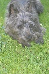 Dexter, chien Cairn Terrier