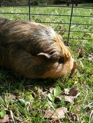 Crawkott', rongeur Cochon d'Inde
