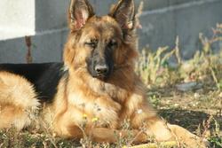 Elysee, chien Berger allemand