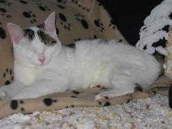 Mi-Ké, chat Japanese Bobtail