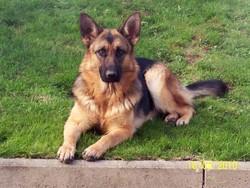 Elite, chien Berger allemand