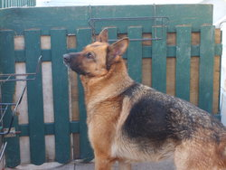 Cybelle, chien Berger allemand