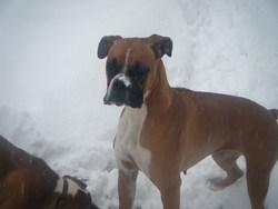 Diam's, chien Boxer