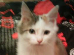 Nikita, chat Européen