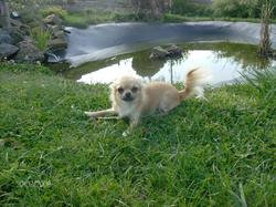 Dolly, chien Chihuahua