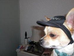 Cesar, chien Chihuahua