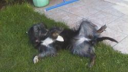 Celeste, chien Border Collie