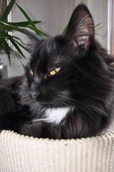 Asimov, chat Gouttière
