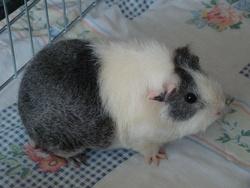Boudine, rongeur Cochon d'Inde
