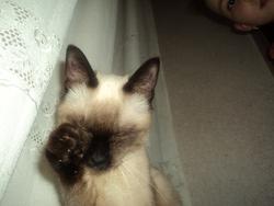 Florette, chat Siamois