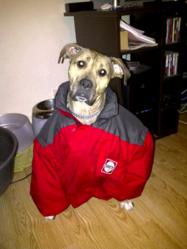 Tchii, chien Cane Corso