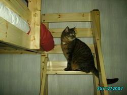 Nina, chat Européen
