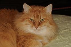 Titou, chat Européen