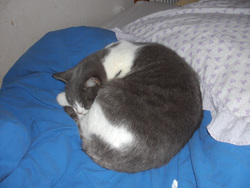 Mina, chat Européen